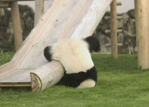 panda-imbranato